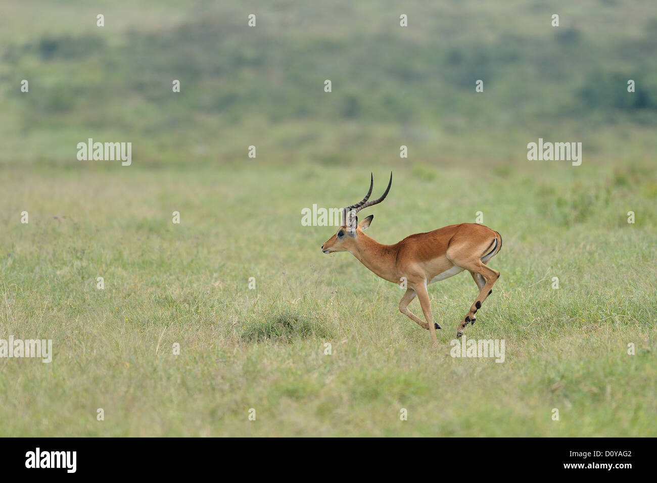Impala (Aepyceros melampus melampus) male running Maasai Mara NP - Kenya - East Africa Stock Photo