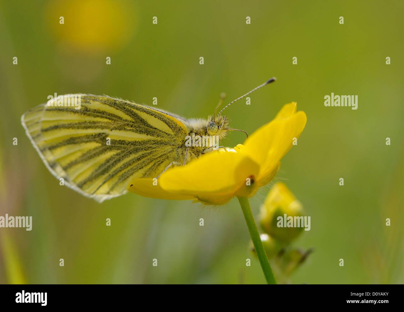A Green-veined white butterfly (Pieris napi).   Mainland, Orkney, Scotland UK. - Stock Image