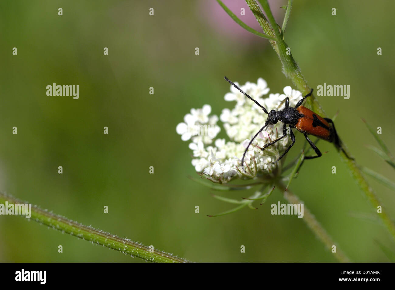 Longhorn beetle (Stictoleptura cordigera - Leptura cordigera) male on umbelliferous flower Stock Photo