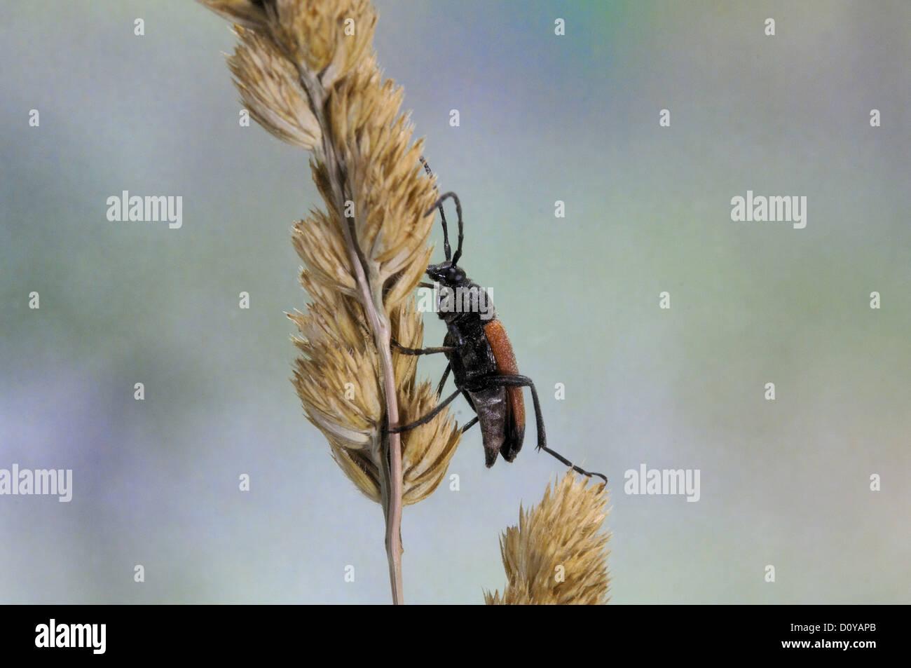 Longhorn beetle (Stictoleptura cordigera - Leptura cordigera) male on dry graminaceae Stock Photo