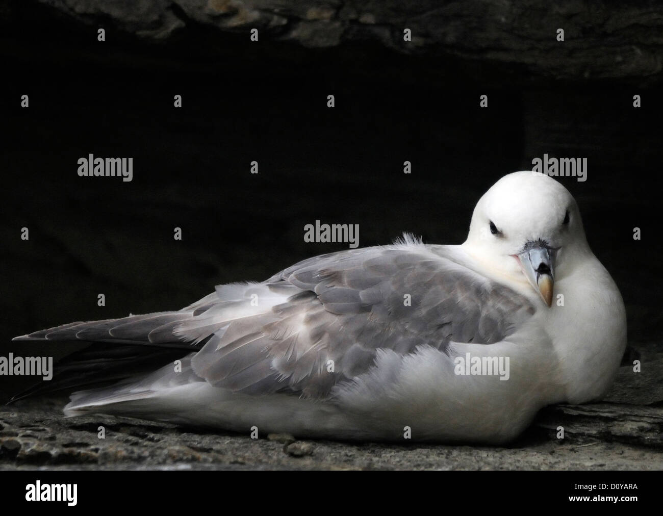 Fulmar or Northern Fulmar (fularus glacialis) sitting on a nesting ledge. Mainland, Orkney, Scotland UK. - Stock Image