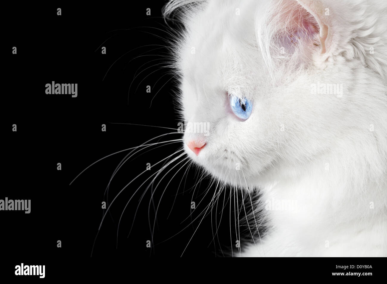 Portrait of a white cat - Stock Image