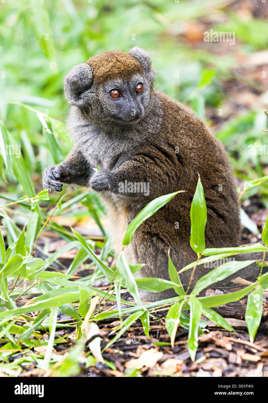 Alaotran gentle lemur, Hapalemur alaotrensis, inhabitant of Madagascar - Stock Image