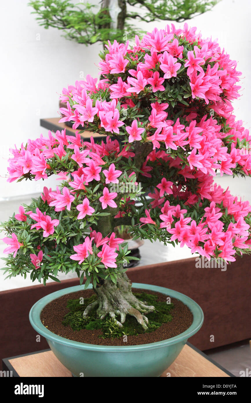 Pink Flowering Bonsai Tree Stock Photo Alamy