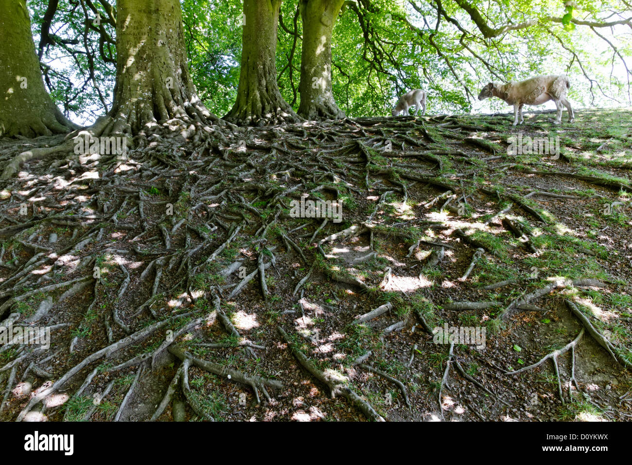 Exposed tree root system, Avebury, Wiltshire, England - Stock Image