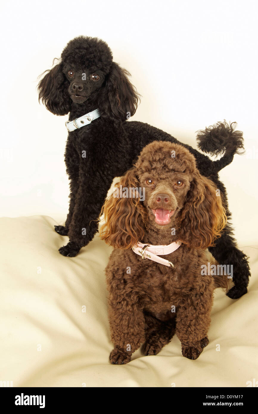 Two Toy Poodles - Stock Image