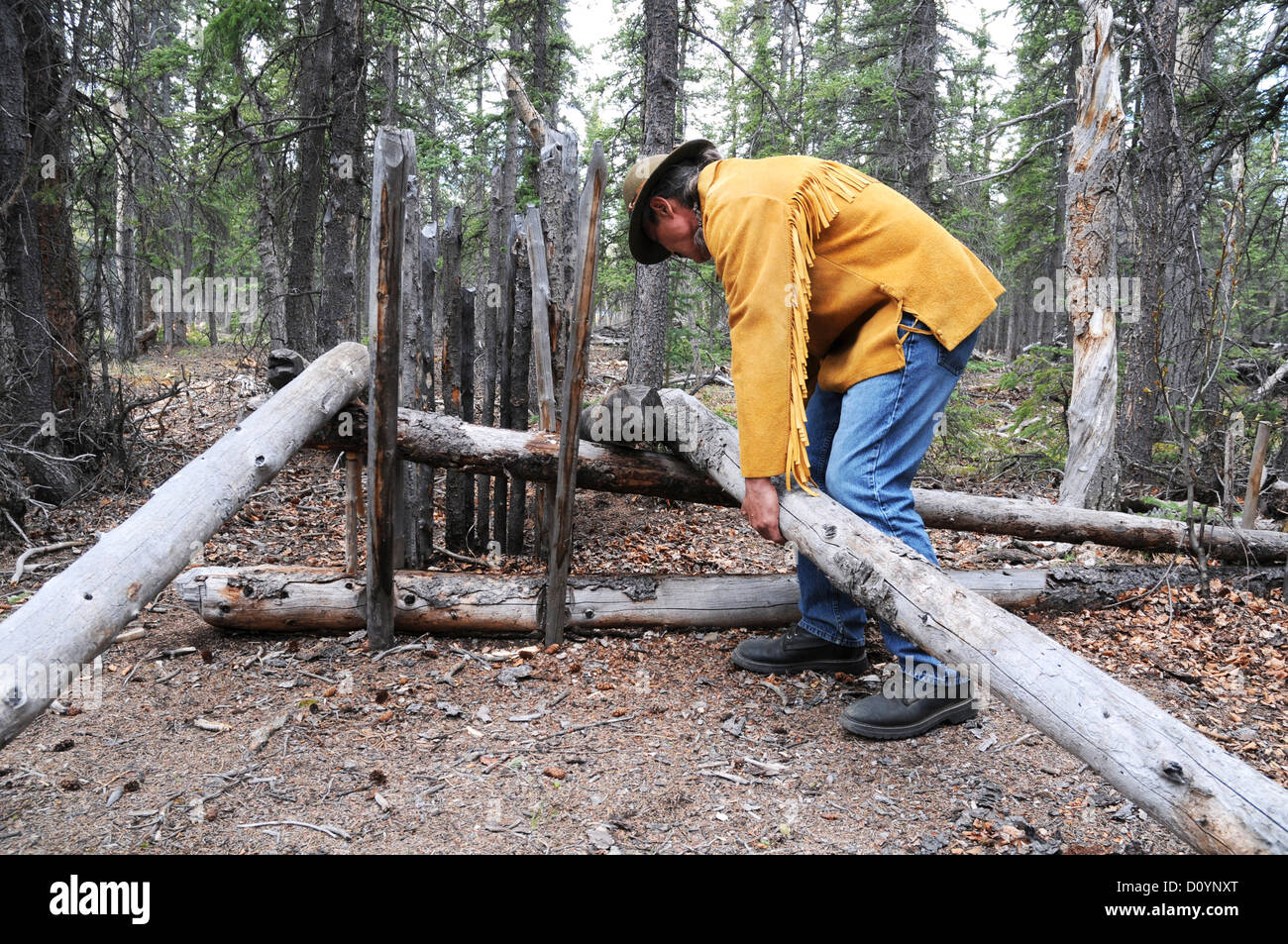 An indigenous elder of the Champagne-Aishihik First Nation sets up a deadfall animal (hunting) trap in the forest Stock Photo