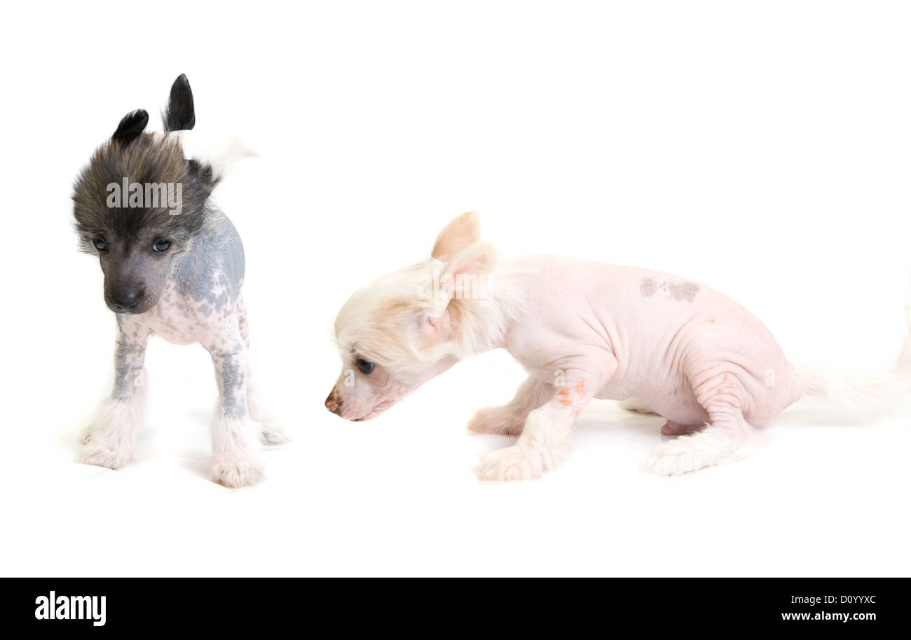 Chinese Crested puppy - Stock Image
