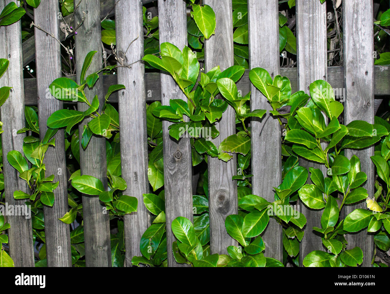 Close-up of a wooden garden fence overgrown by a green plant - Stock Image