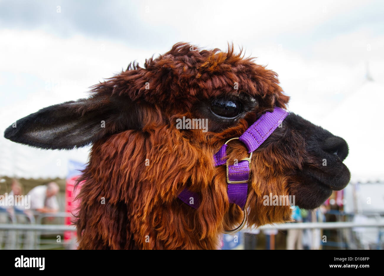 Alpaca , head shot, looking over gate at a country show, Devon UK - Stock Image