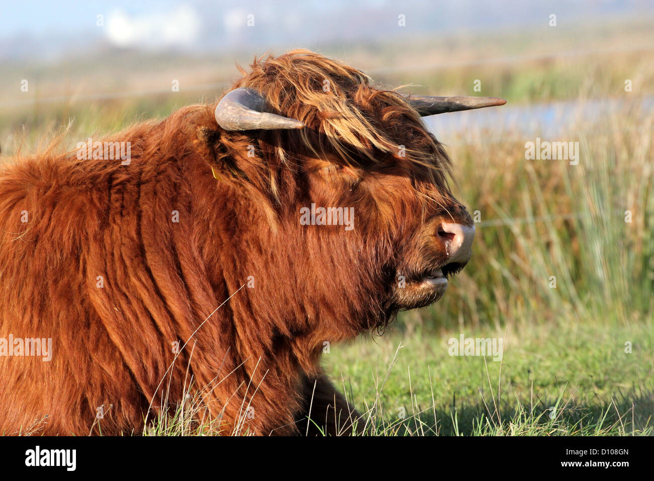 Portrait of a hairy Highland cow lying in the grass ruminating, set against a marshy grassland - Stock Image