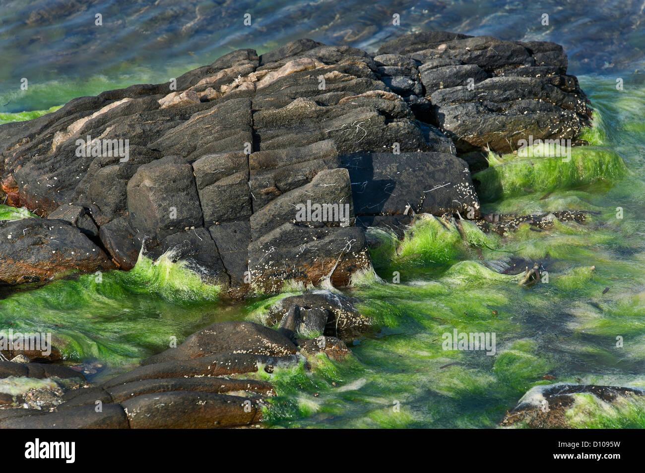 rocks and seaweeds, Asinara NP, Sardinia, Italy - Stock Image
