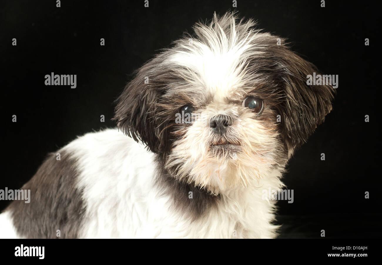 Shih Tzu, dog, race, canine, breed, lion dog, miniature, cute, black