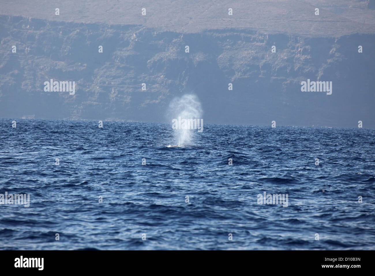 The blow of a large Bryde's whale at the water surface, La Gomera, Canary Islands - Stock Image