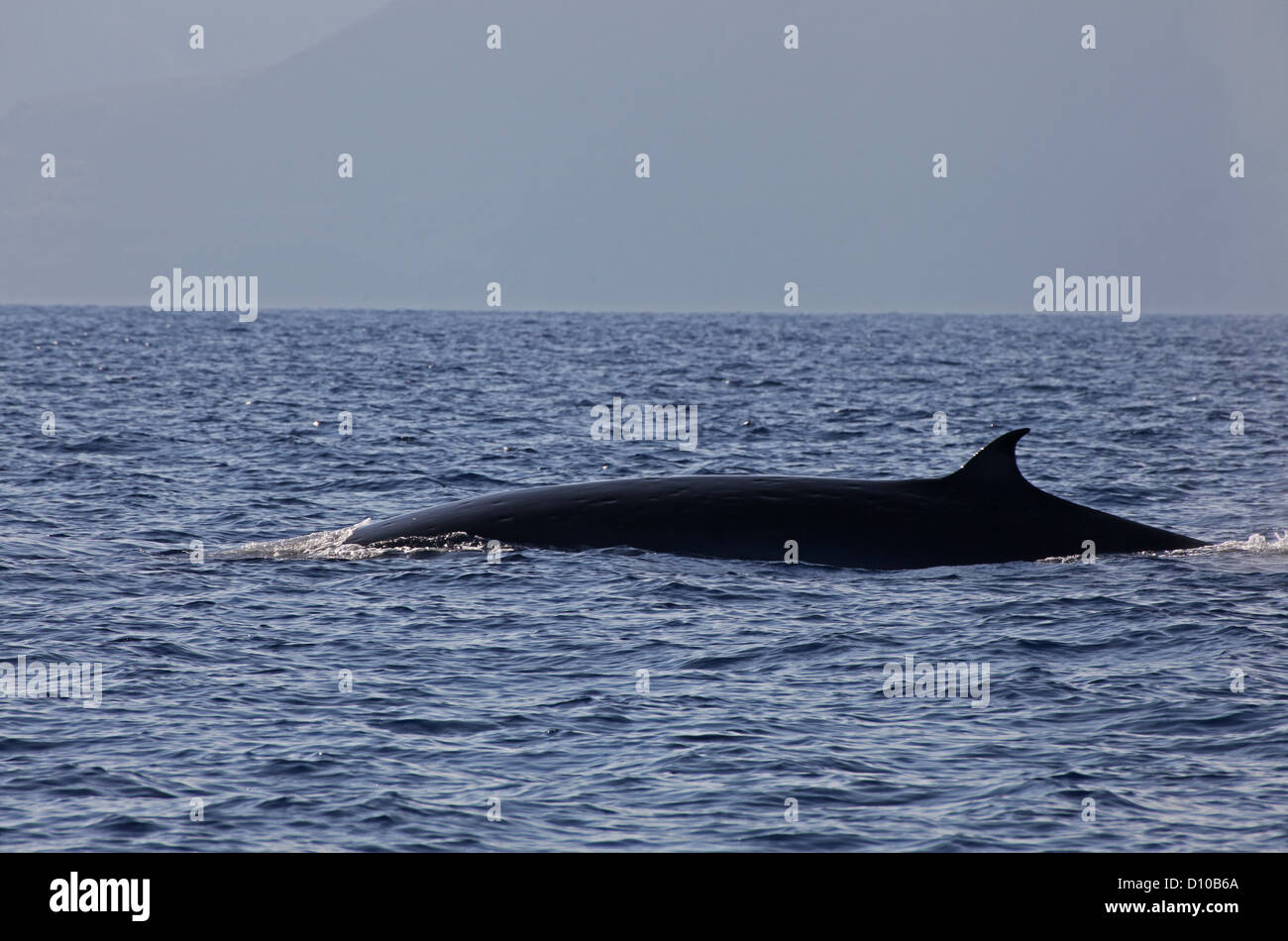 A large Bryde's whale surfaces off La Gomera, Canary Islands - Stock Image