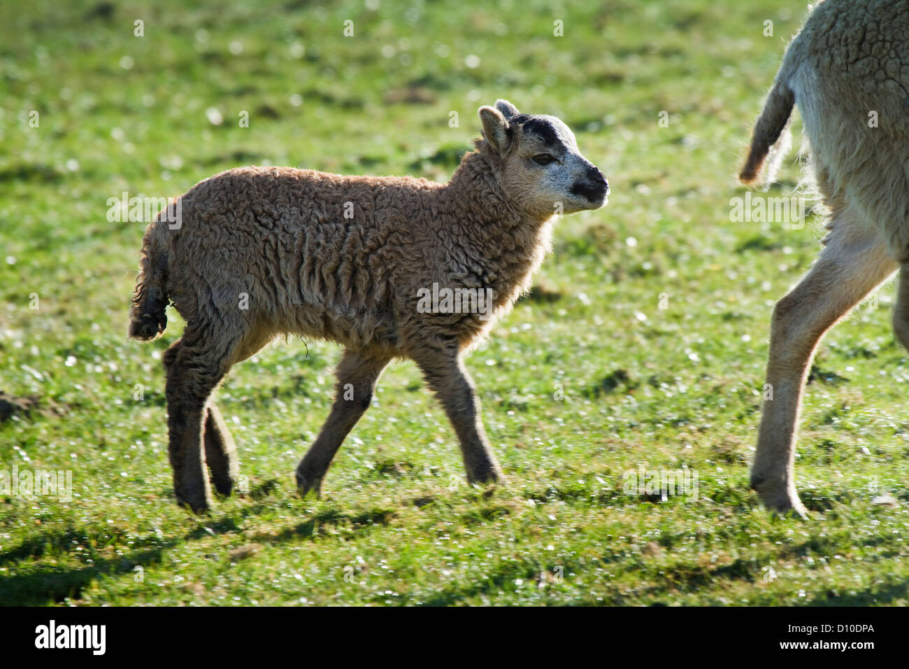 Soay Ewe with soay x welsh badger face lamb, Devon Uk - Stock Image