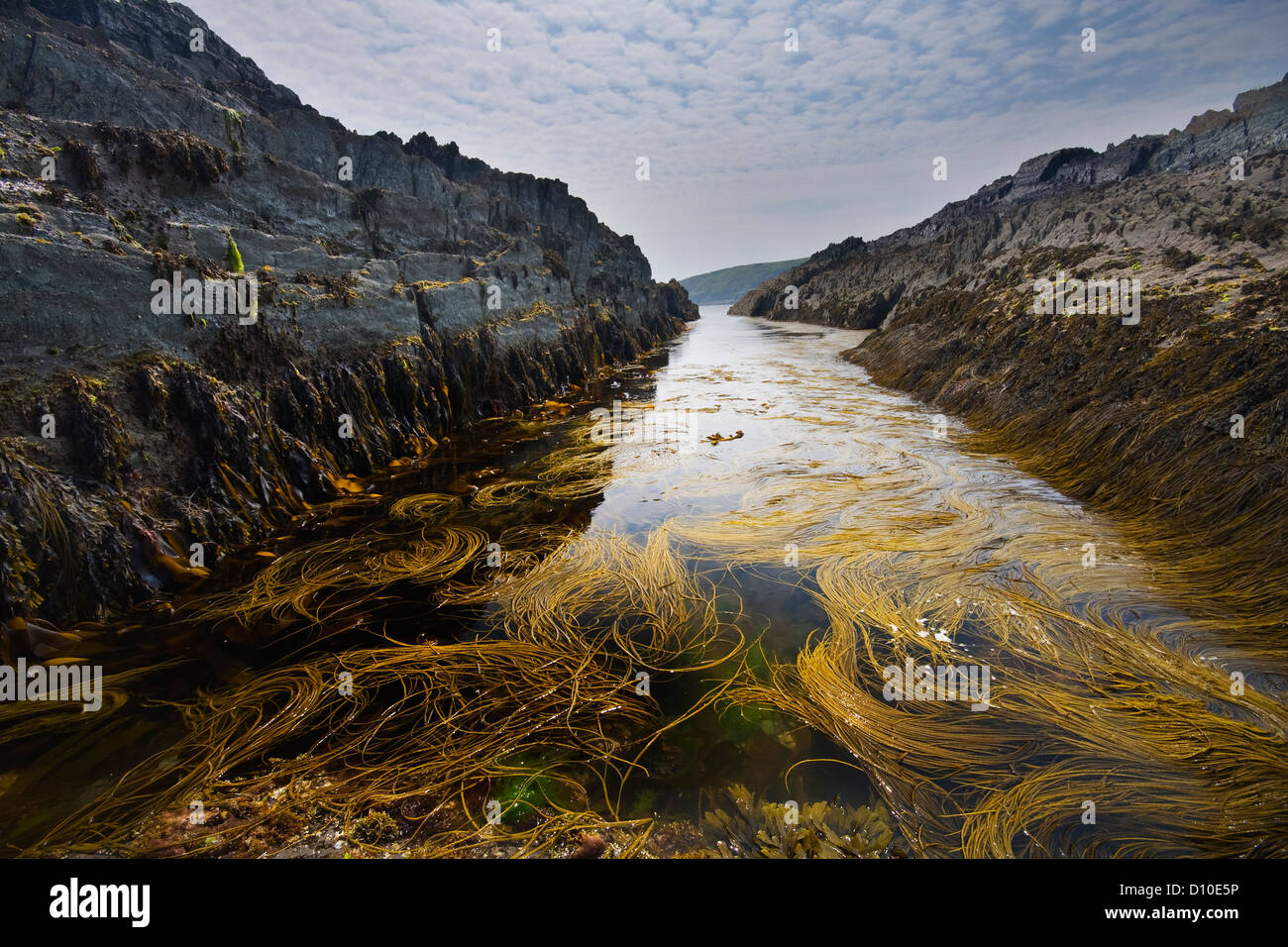 Seaweed covered gully at Noss Mayo on the south Devon coast , - Stock Image