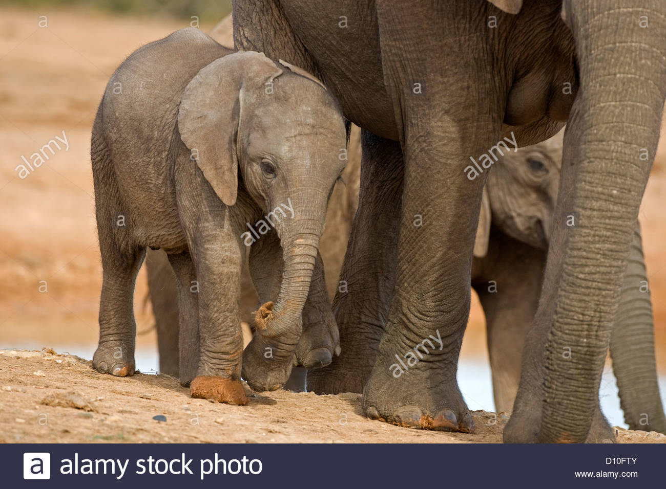 African Elephant (Loxodonta africana) calf following herd, Addo Elephant National Park, South Africa - Stock Image
