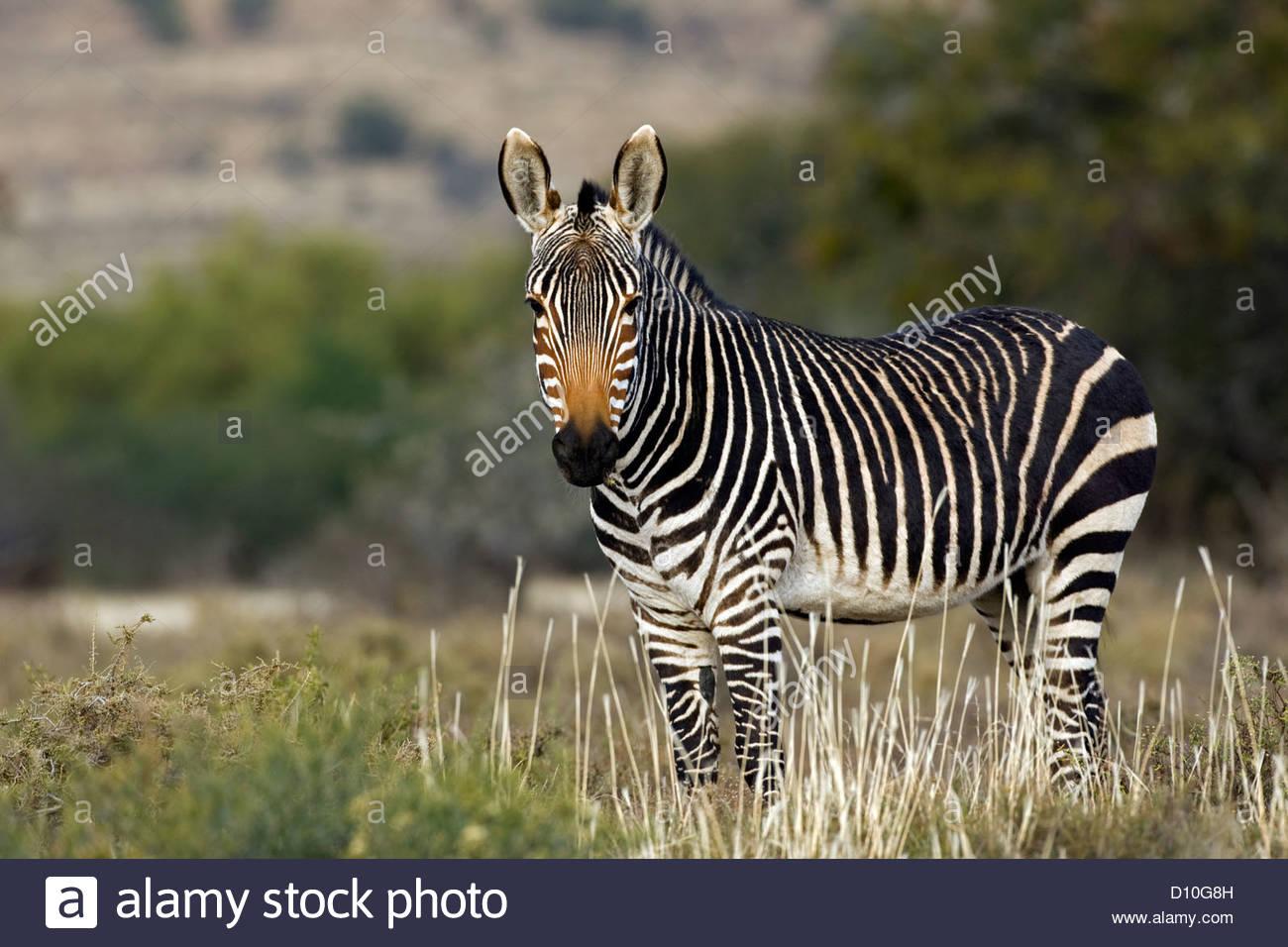Cape mountain zebra (Equus zebra zebra), Bergkwagga Nasionale Park / Mountain Zebra National Park, South Africa Stock Photo