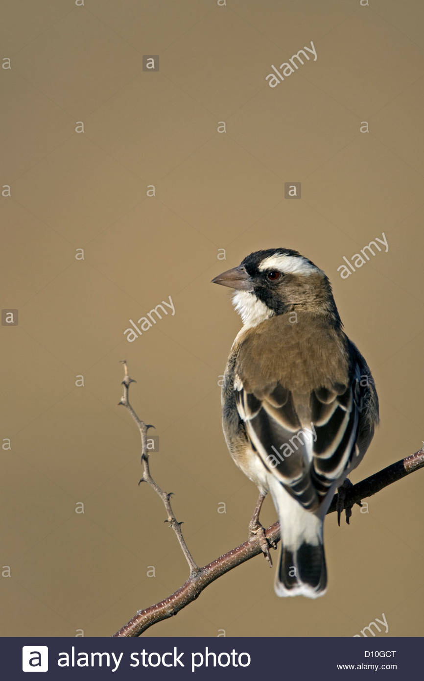 White-browed sparrow-weaver (Plocepasser mahali) perched in bush, Kgalagadi Transfrontier Park, South Africa - Stock Image