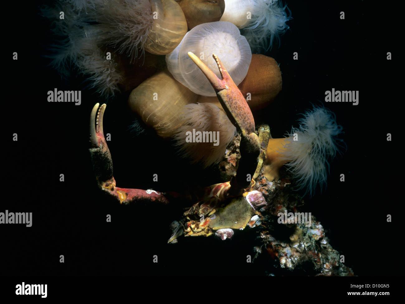 Cryptic Kelp Crab (Pugettia richii) and Plumose Anemones (Metridium giganteum). Vancouver Island, British Columbia, Stock Photo