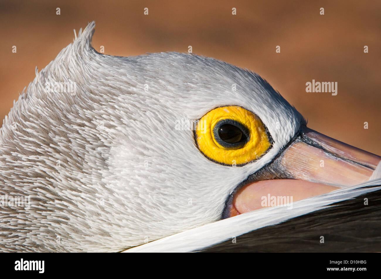 Head of an Australian Pelican. - Stock Image