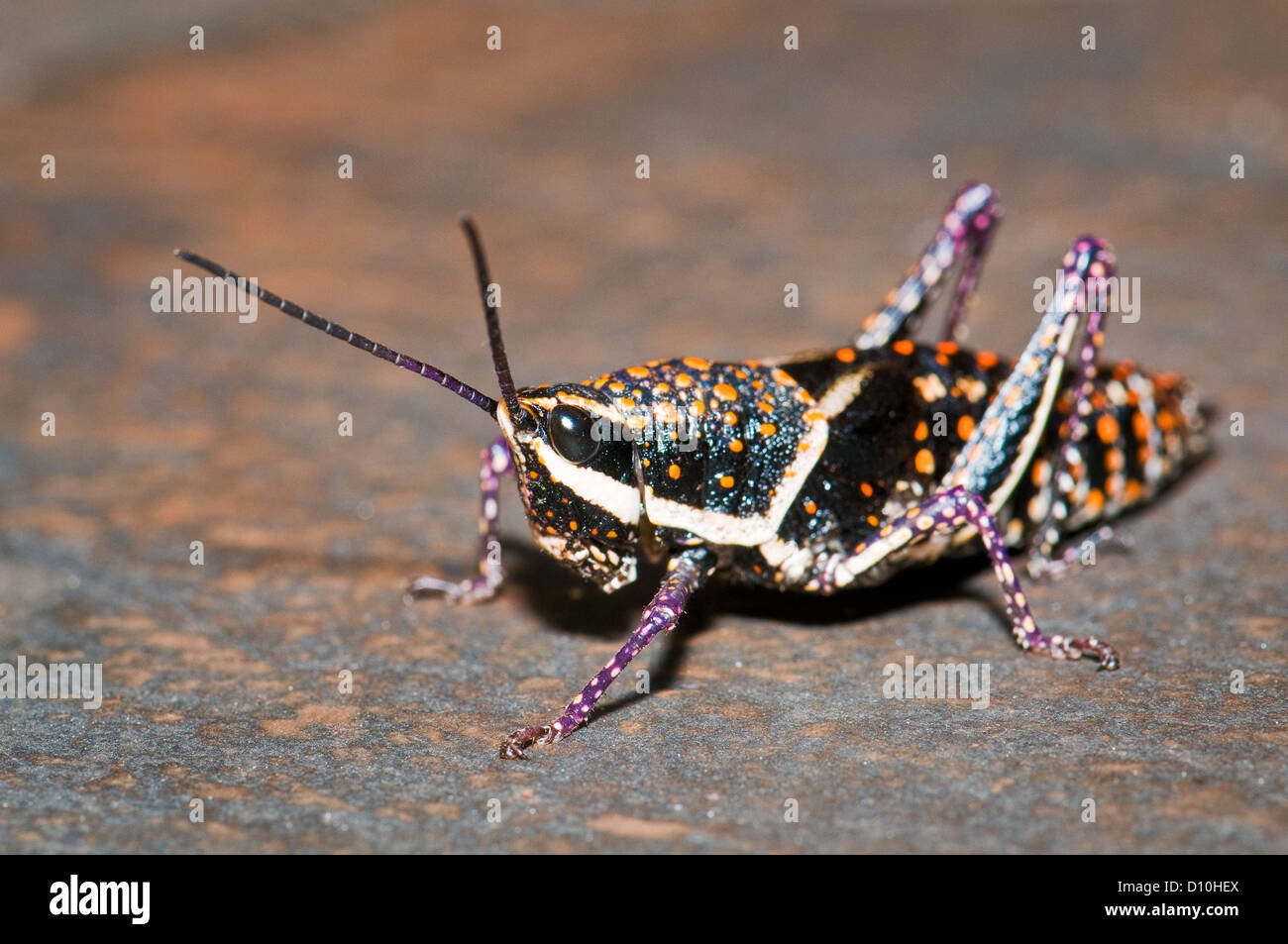 Blistered Grasshopper sitting on a rock. - Stock Image