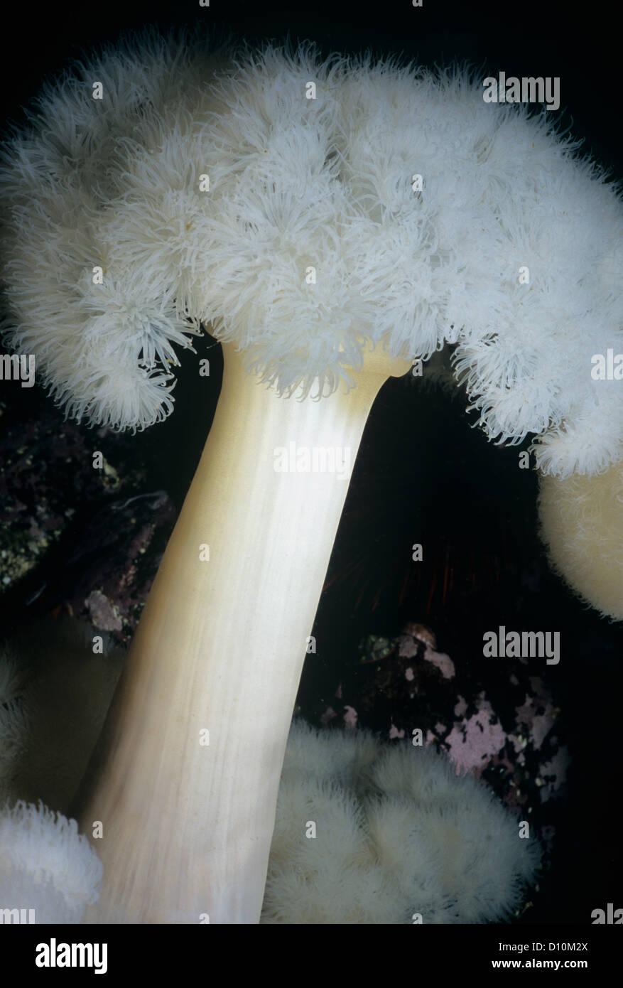 Close-up of White-Plumed Anemone (Metridium farcimen). Queen Charlotte Strait, British Columbia, Canada, North Pacific - Stock Image