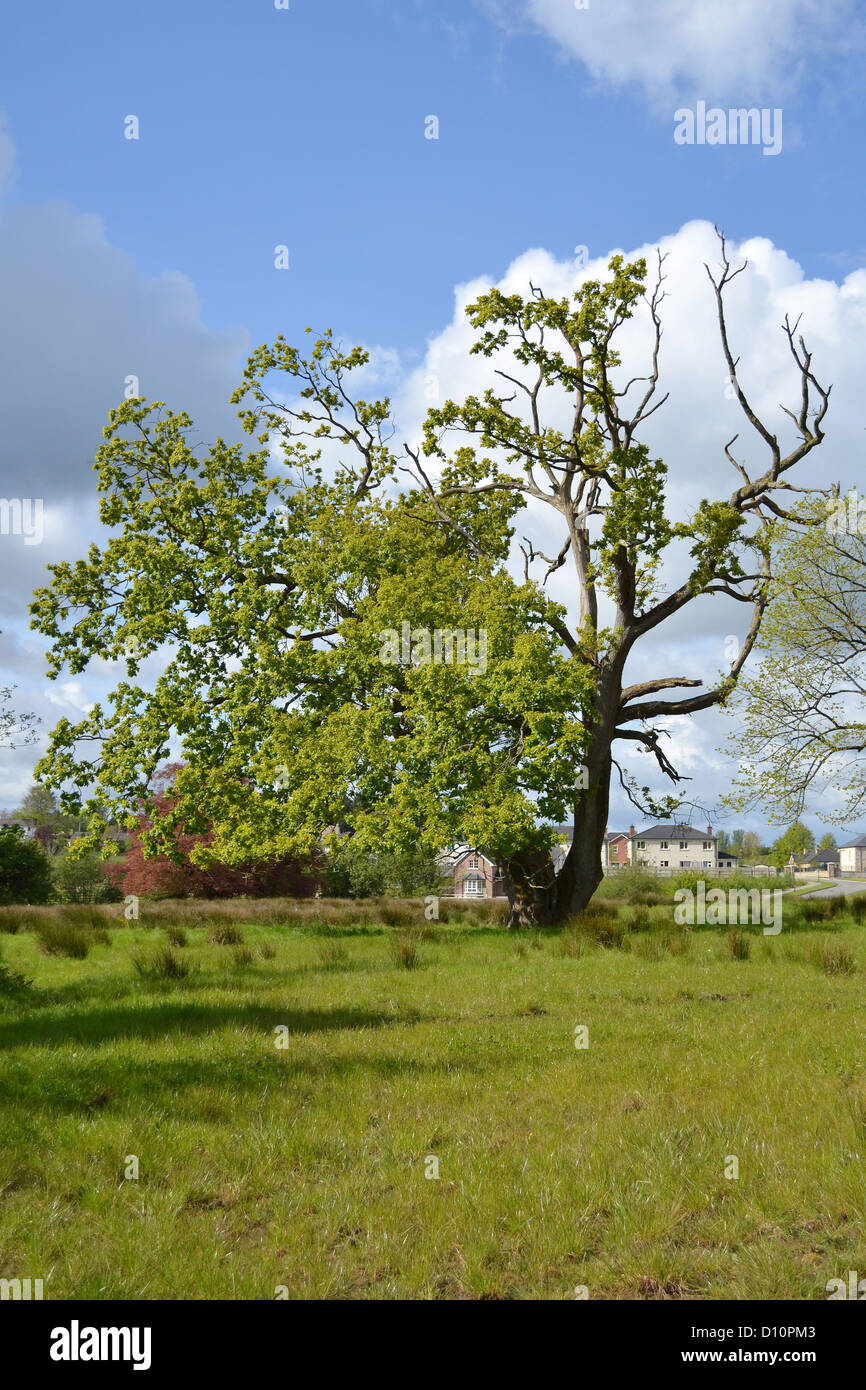 Half Dead Tree Stock Photos Half Dead Tree Stock Images Alamy