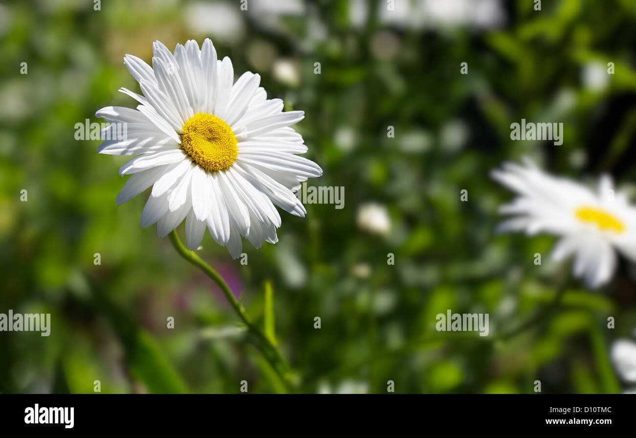 Marguerite daisy flower stock photos marguerite daisy flower stock single marguerite daisy flower against soft focus green background and other flowers stock image izmirmasajfo