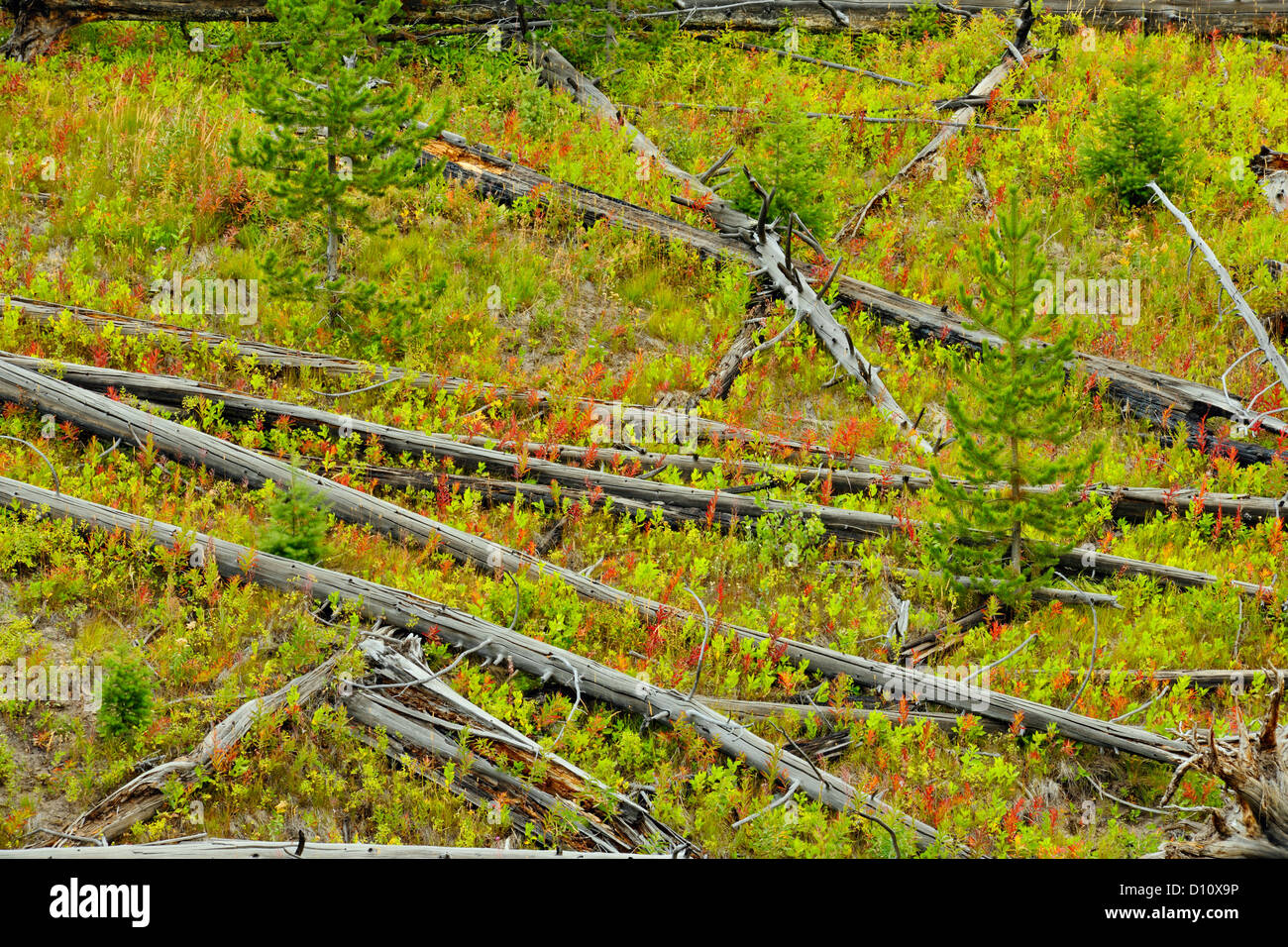 Dead snags and regenerating pines on the Blacktail Deer Plateau, Yellowstone NP, Wyoming, USA - Stock Image