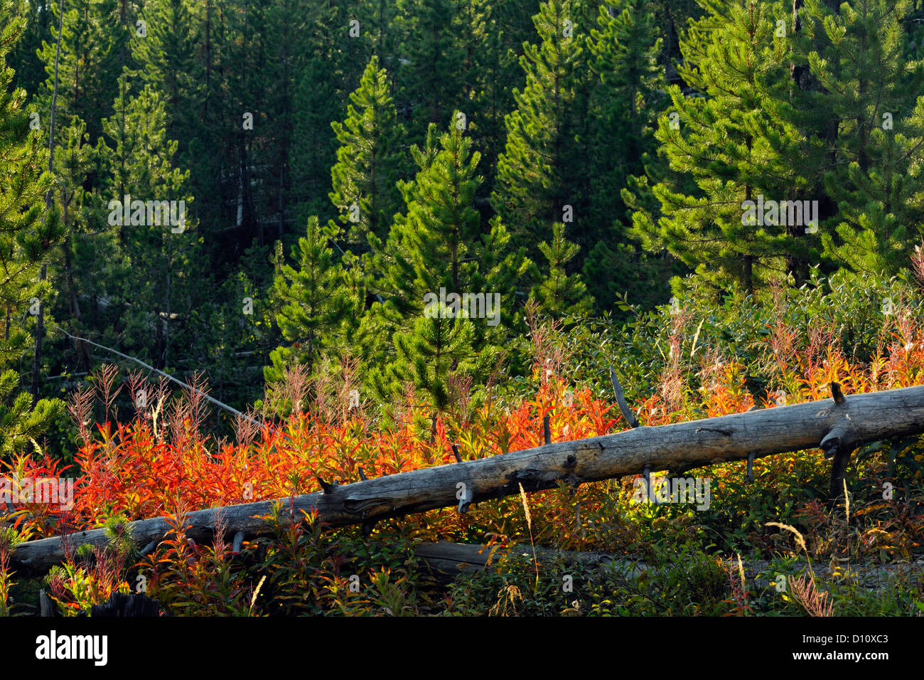 Dead snags, late-summer fireweed and regenerating pines on the Blacktail Deer Plateau, Yellowstone NP, Wyoming, - Stock Image
