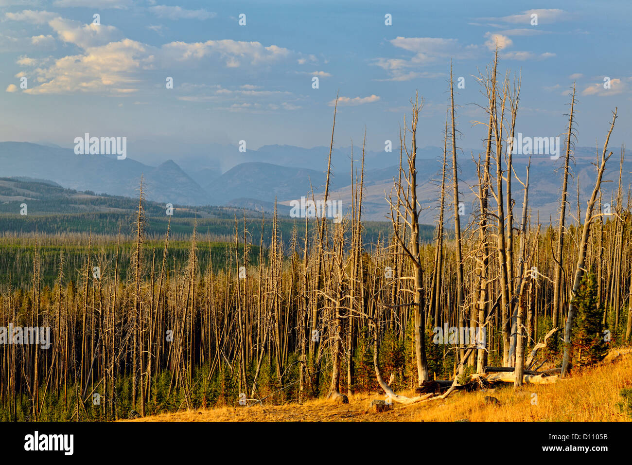 Dead tree snags killed by a forest fire and regenerating forest, Yellowstone NP, Wyoming, USA - Stock Image