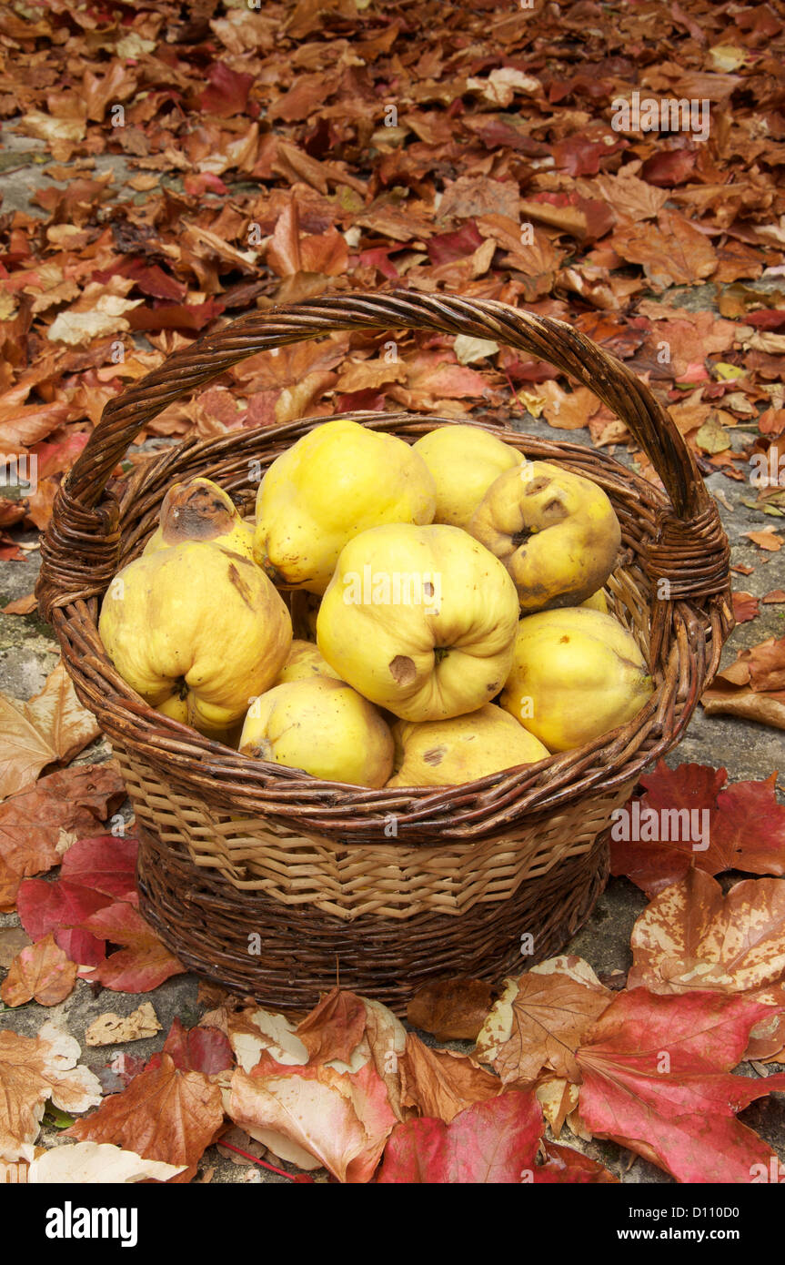Organic fruits. A basket of quinces (Cydonia Oblonga), surrounded by colourful autumn leaves. La Drôme, France. Stock Photo