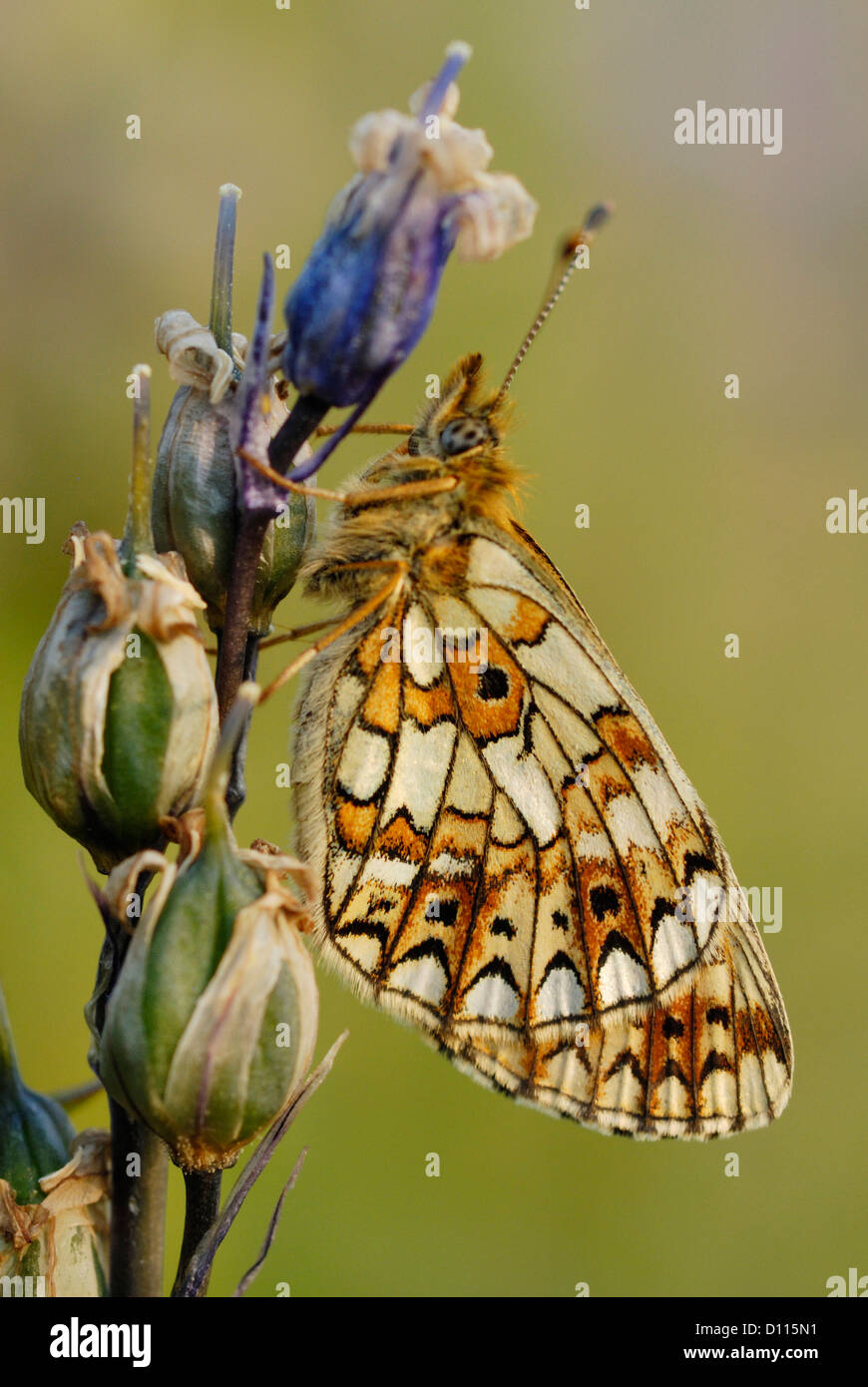 Small Pearl-bordered Fritillary (Boloria selene) on a bluebell seed head - Stock Image