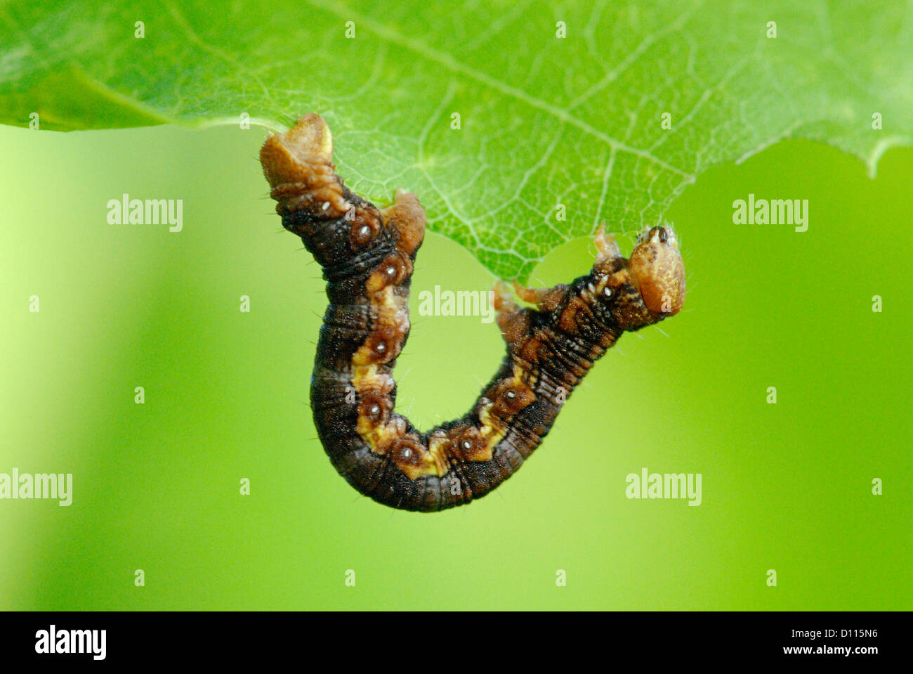 Mottled Umber caterpillar (Erannis defoliaria) feeding on an oak leaf - Stock Image