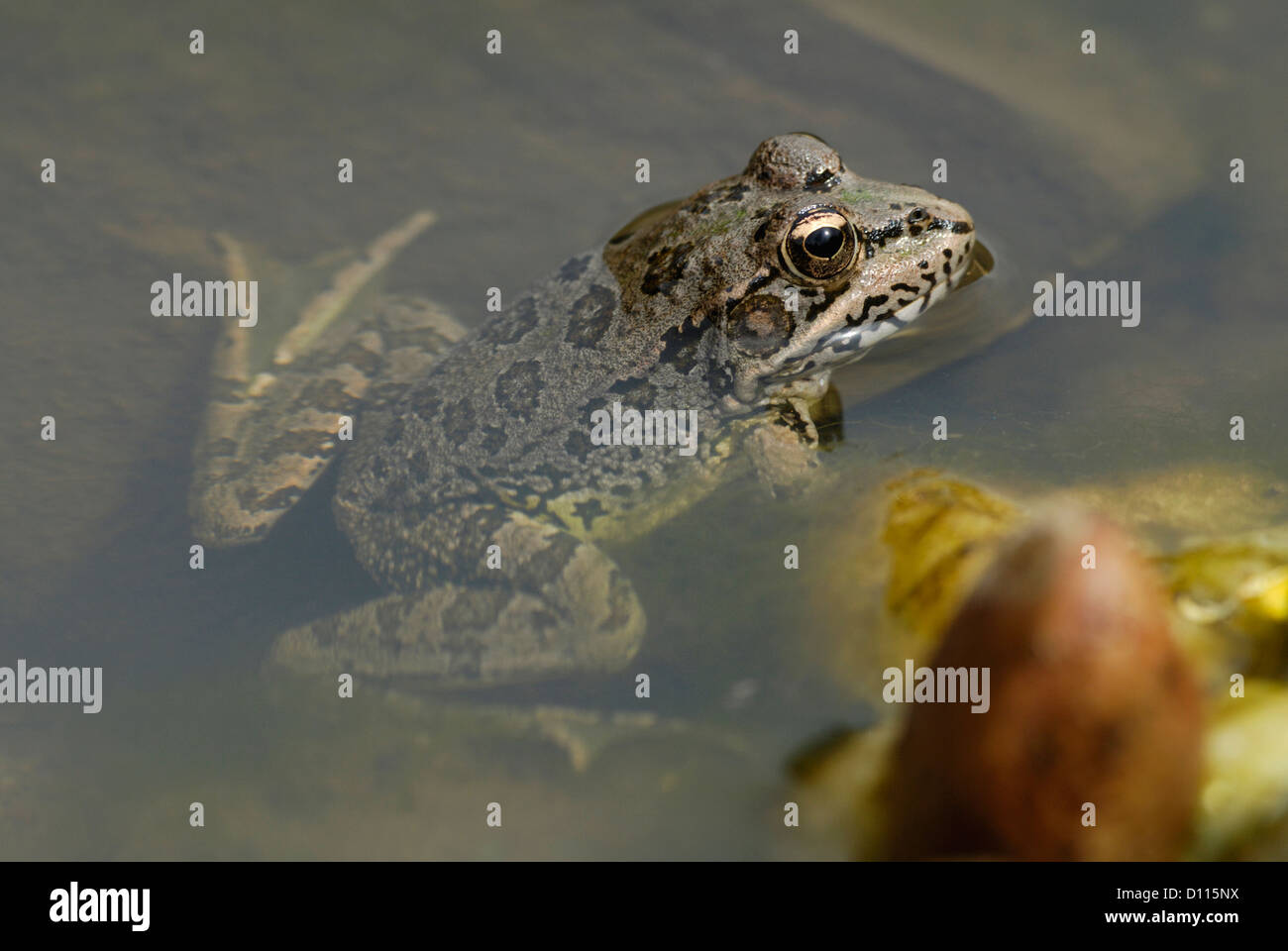 Iberian Water Frog (Pelophylax perezi) in Monfrague National Park, Spain - Stock Image