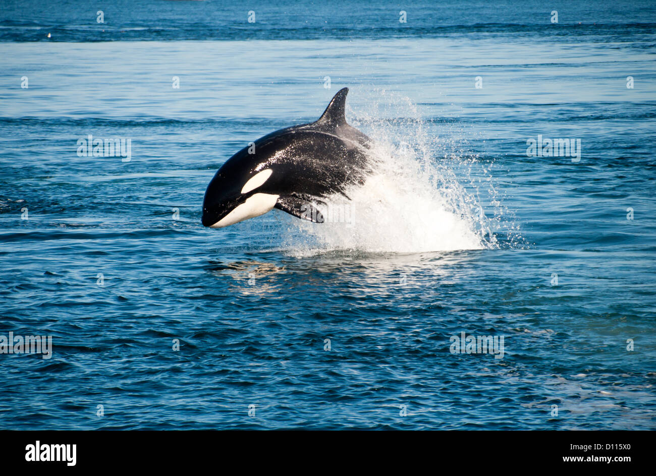 A killer whale is swimming - Stock Image