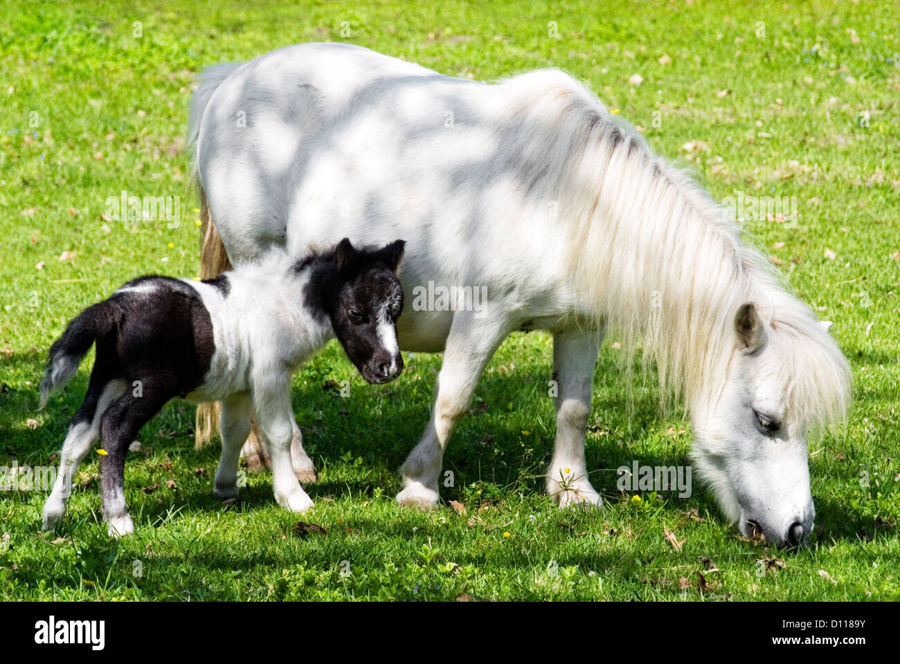 White Miniature horse mare and foal standing on meadow   Miniaturpferd-Stute und Fohlen - Stock Image