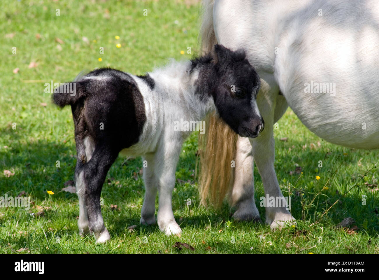 White Miniature horse foal standing on meadow | Miniaturpferd-Fohlen auf einer Weide Stock Photo