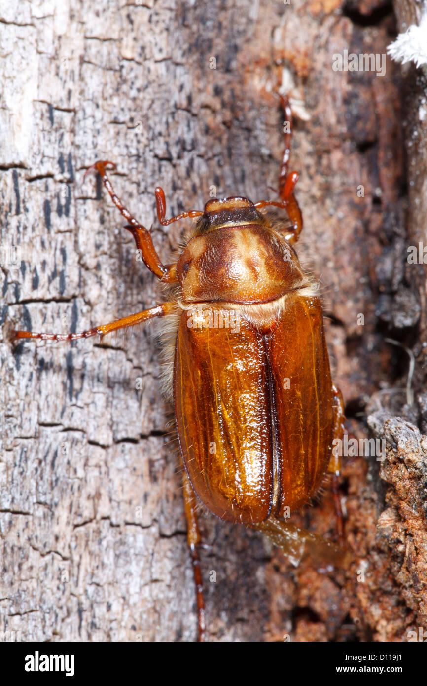 Useful adult june bug