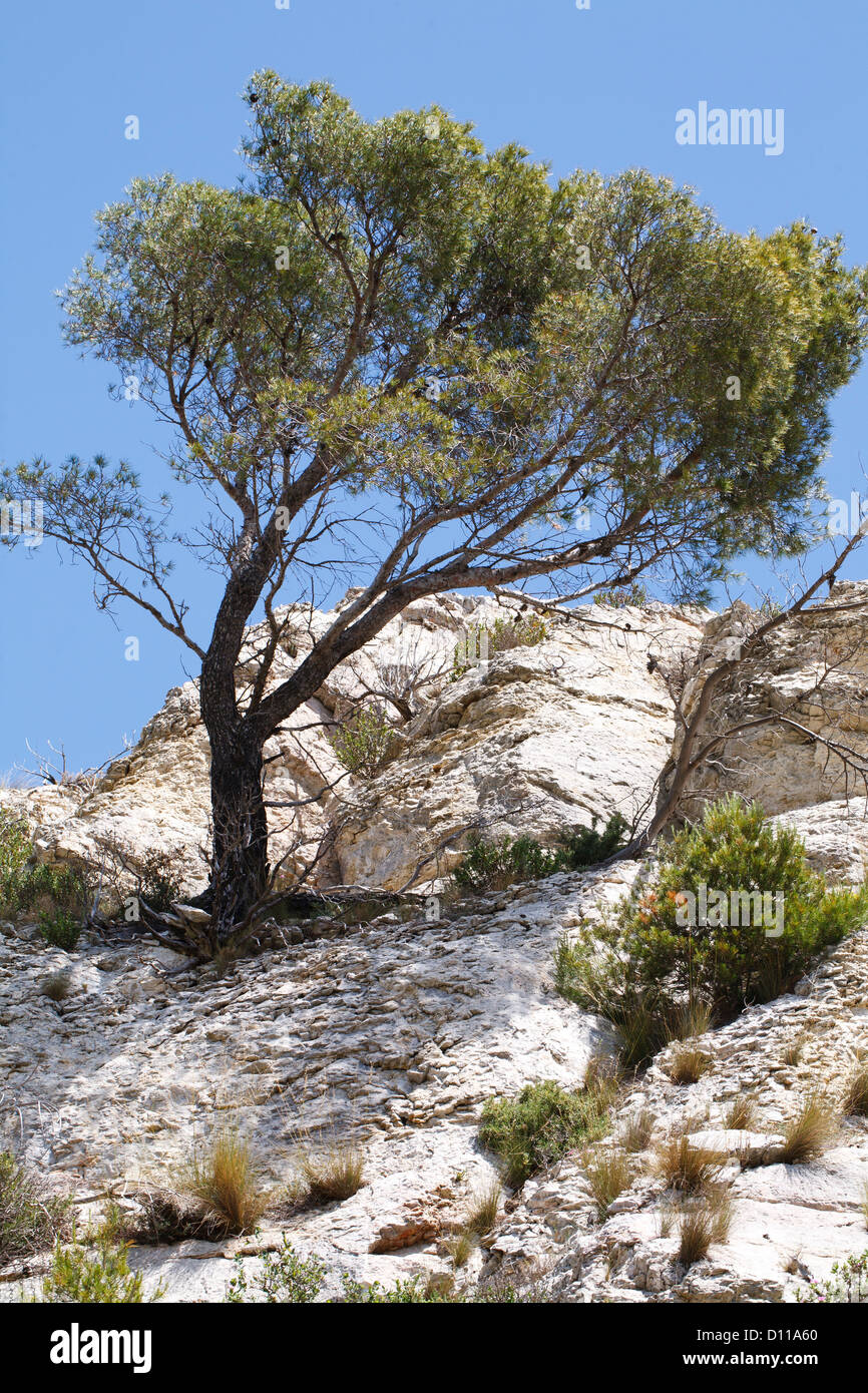 Aleppo Pine tree (Pinus halepensis) growing out of a limestone rock-face. Chaîne des Alpilles, Provence, France. - Stock Image