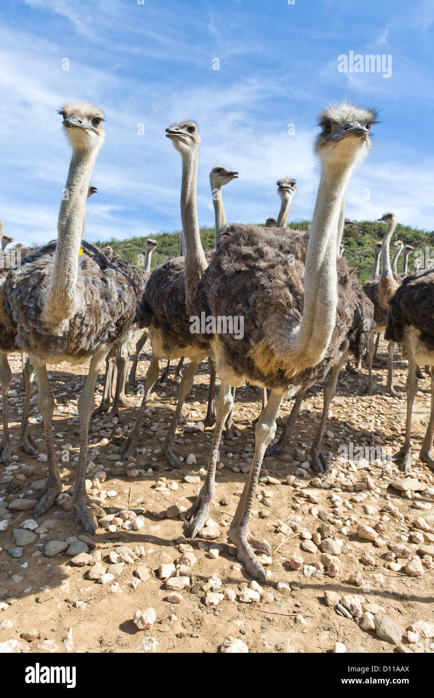 Commercial Ostrich farm, Oudtshoorn, Western Cape, South Africa - Stock Image