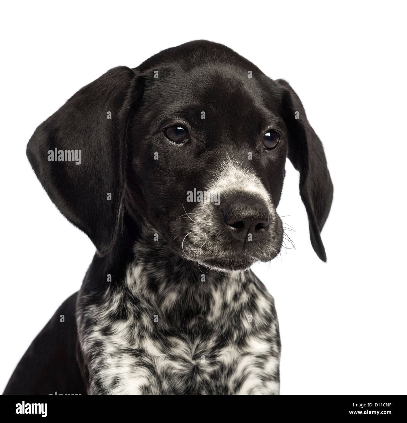 German Shorthaired Pointer Black Stock Photos & German Shorthaired ...