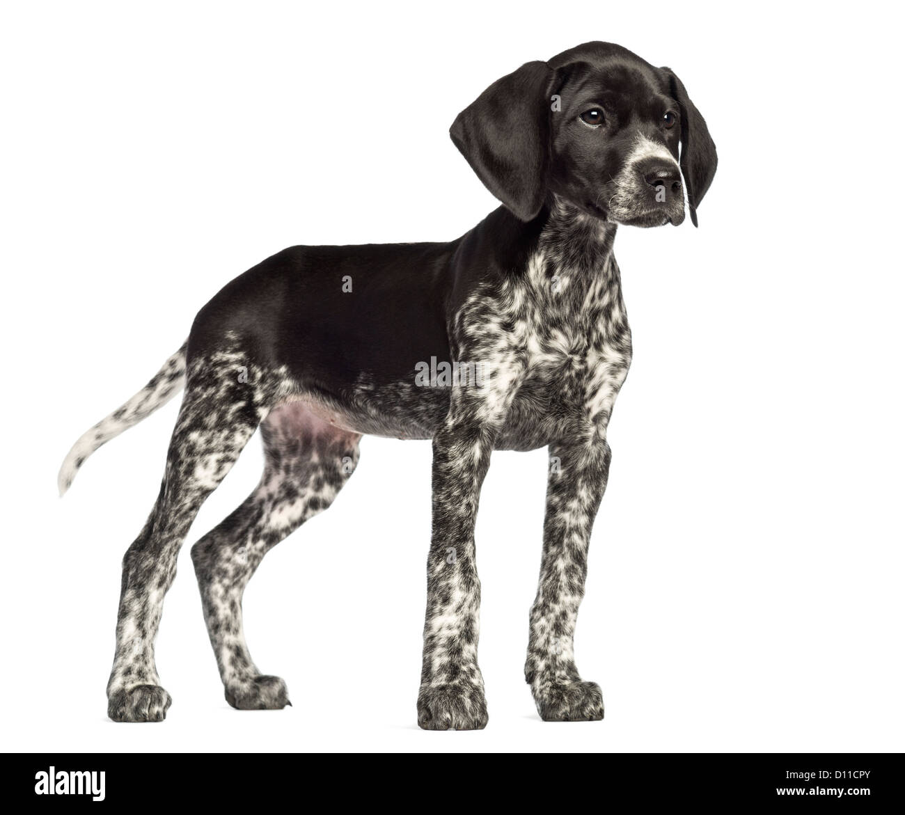 German Wirehaired Pointer Blank Backround Data Wiring Free Body Diagram Moment Http Wwwarchvirginiaedu Km6e Arch324 Cut Out Stock Images Pictures Alamy Rh Com