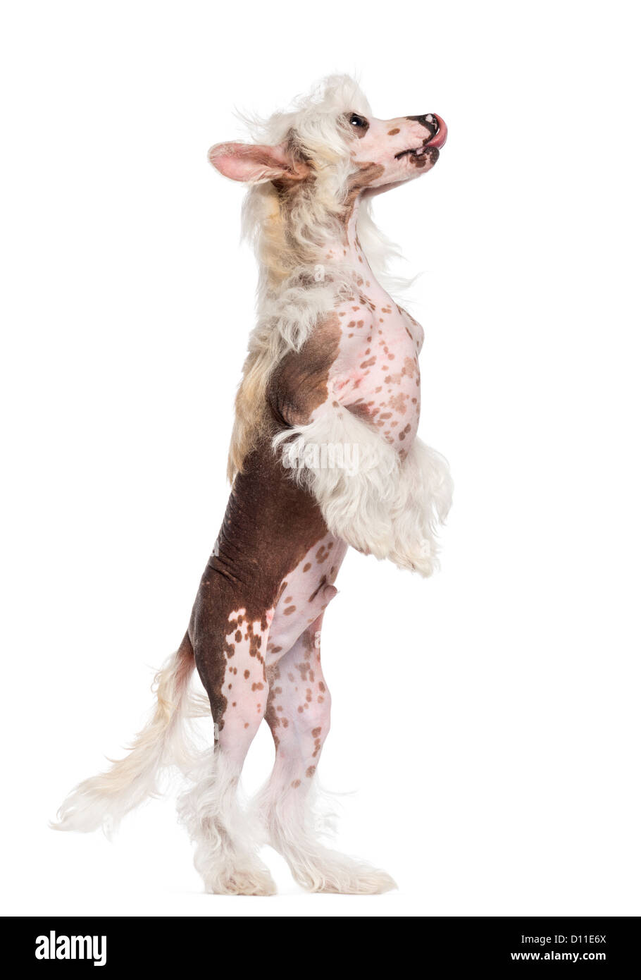 Chinese Crested dog standing on hind legs and looking up against white background - Stock Image