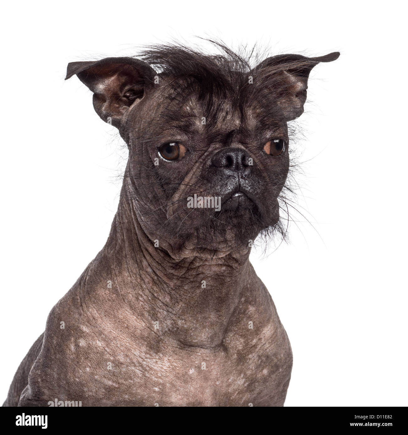 Chinese Crested Ugly Stock Photos & Chinese Crested Ugly ...