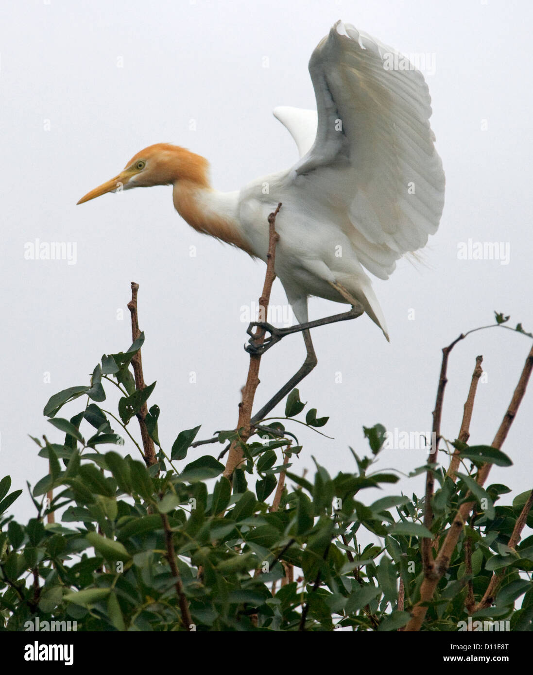 Cattle egret - Bubulcus ibis -  in breeding plumage with wings outstretched against the sky as it takes to the air - Stock Image