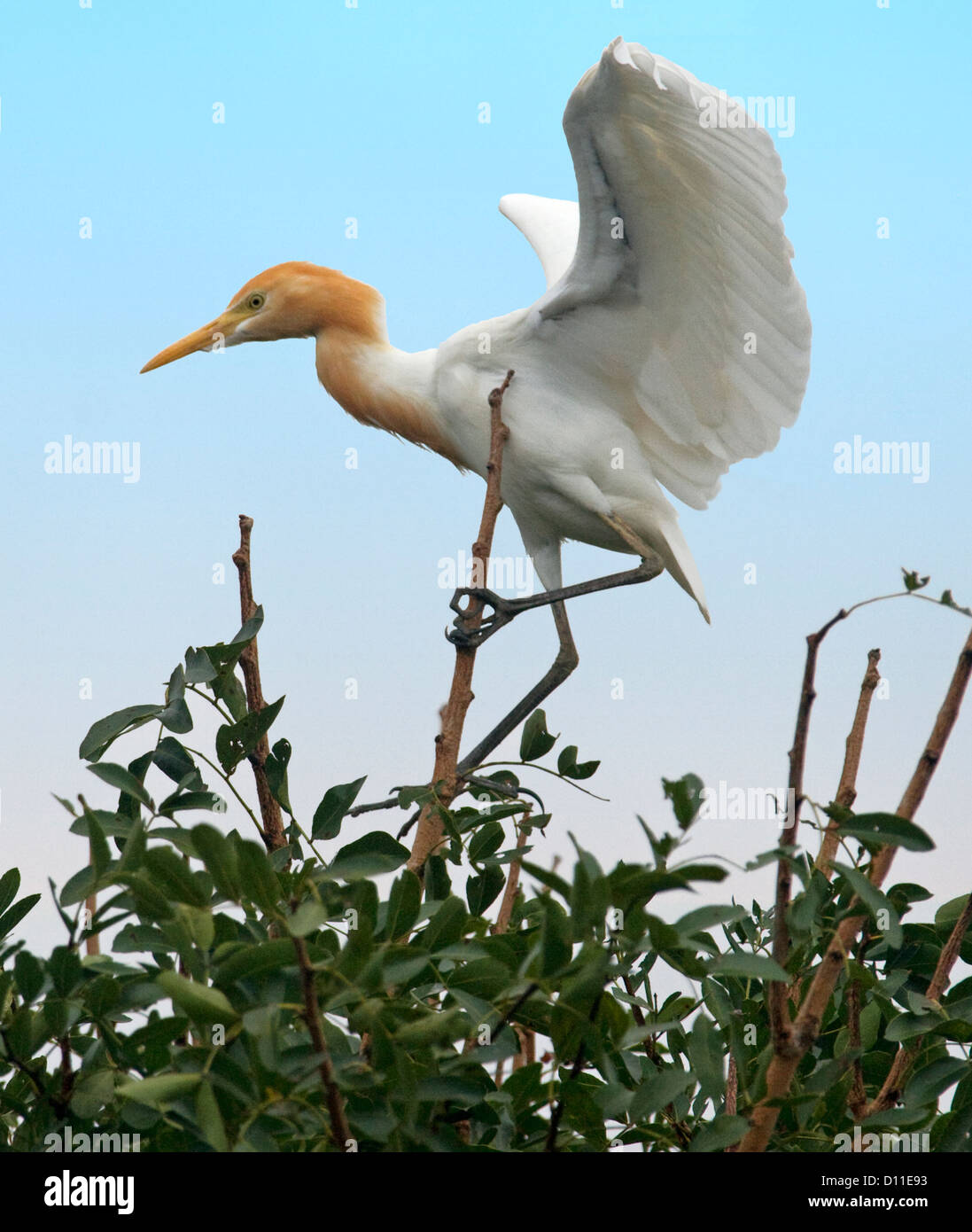 Cattle egret - Bubulcus ibis -  in breeding plumage with wings outstretched against a blue sky as it takes to the - Stock Image