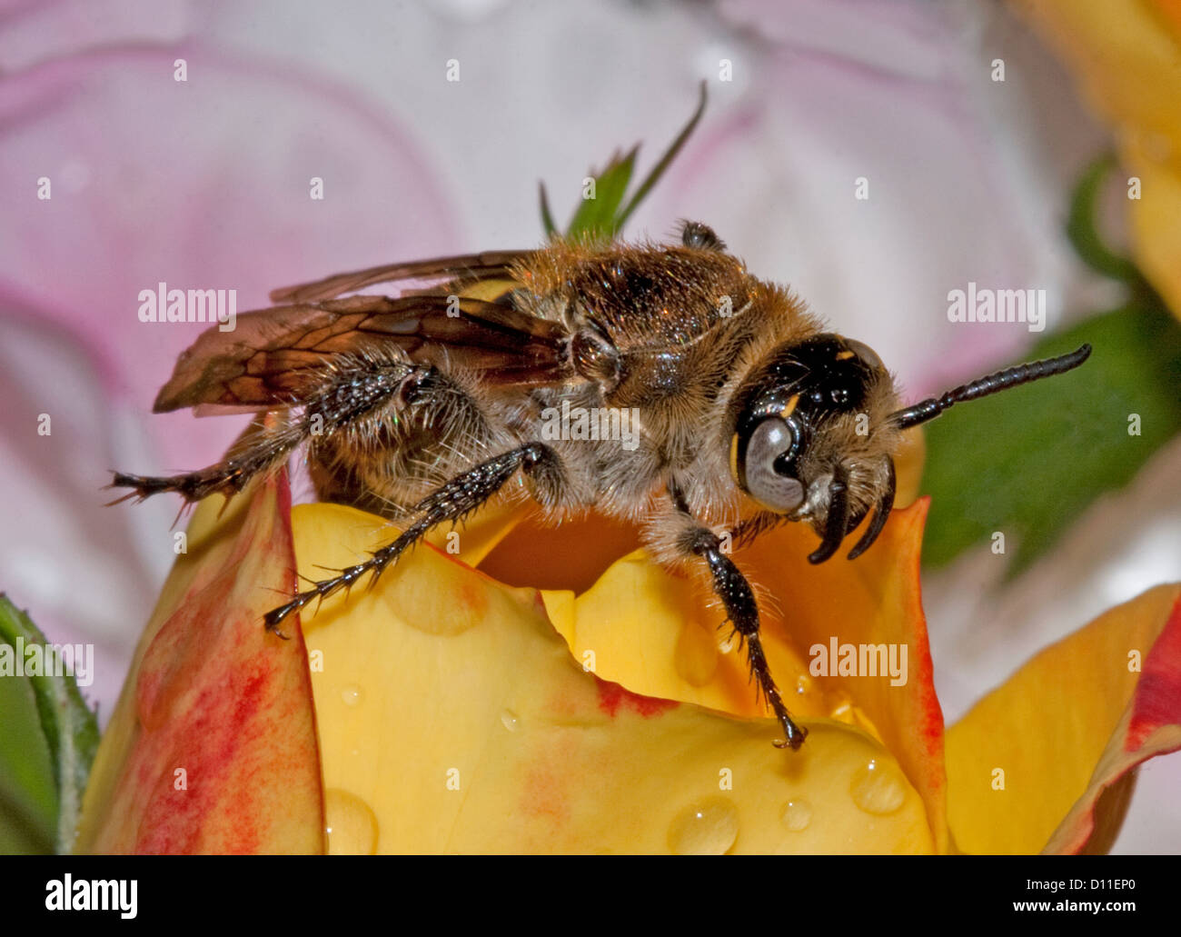 Flower wasp, beneficial predatory insect, on yellow rose bud,macro shot - Stock Image
